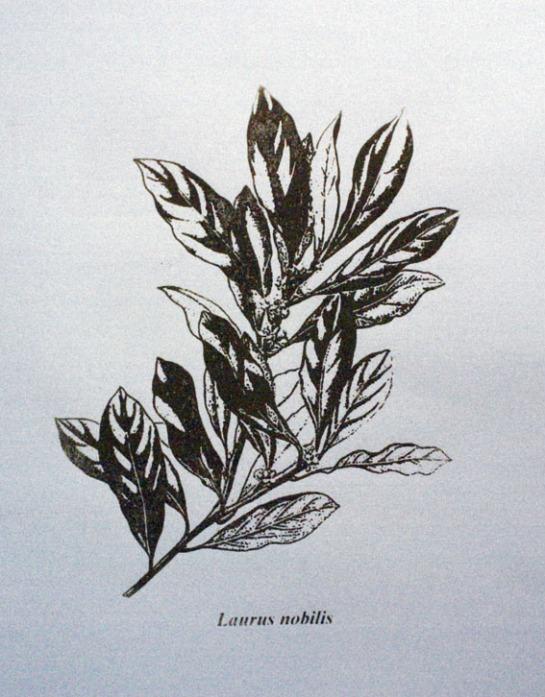 Laurus Nobilis / Serigrafia / 60cm x 42 xm / 2010