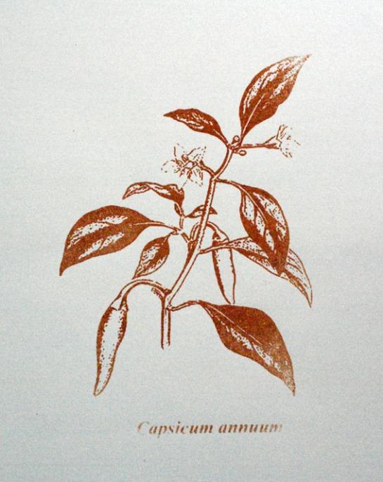 Capsicum annuum / Serigrafia / 60cm x 42 xm / 2010