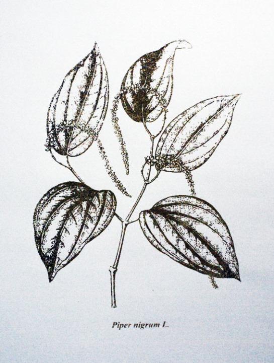 Piper nigrum L. / Serigrafia / 60cm x 42 xm / 2010