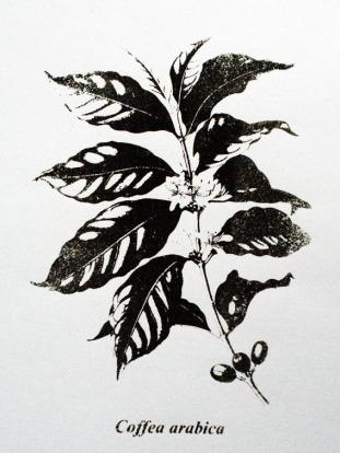 Coffea arabica / Serigrafia / 60cm x 42 xm / 2010
