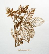 Paullinia cupana Kuth / Serigrafia / 60cm x 42 xm / 2010