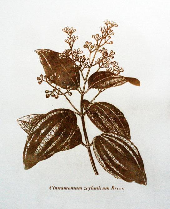 Cinnamomum zeylanicum Breyn / Serigrafia / 60cm x 42 xm / 2010